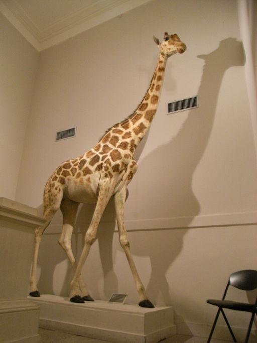 La girafe de Charles X est aujourd'hui au Muséum d'histoire naturelle de La Rochelle
